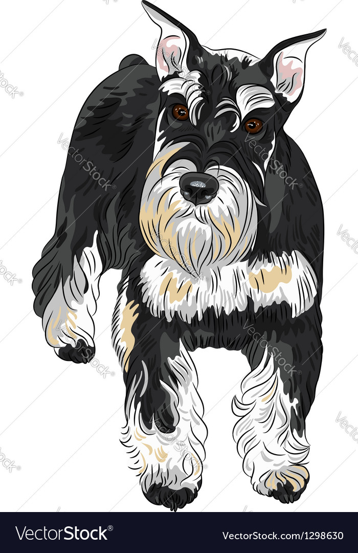 Dog breed miniature schnauzer black and silver vector | Price: 3 Credit (USD $3)