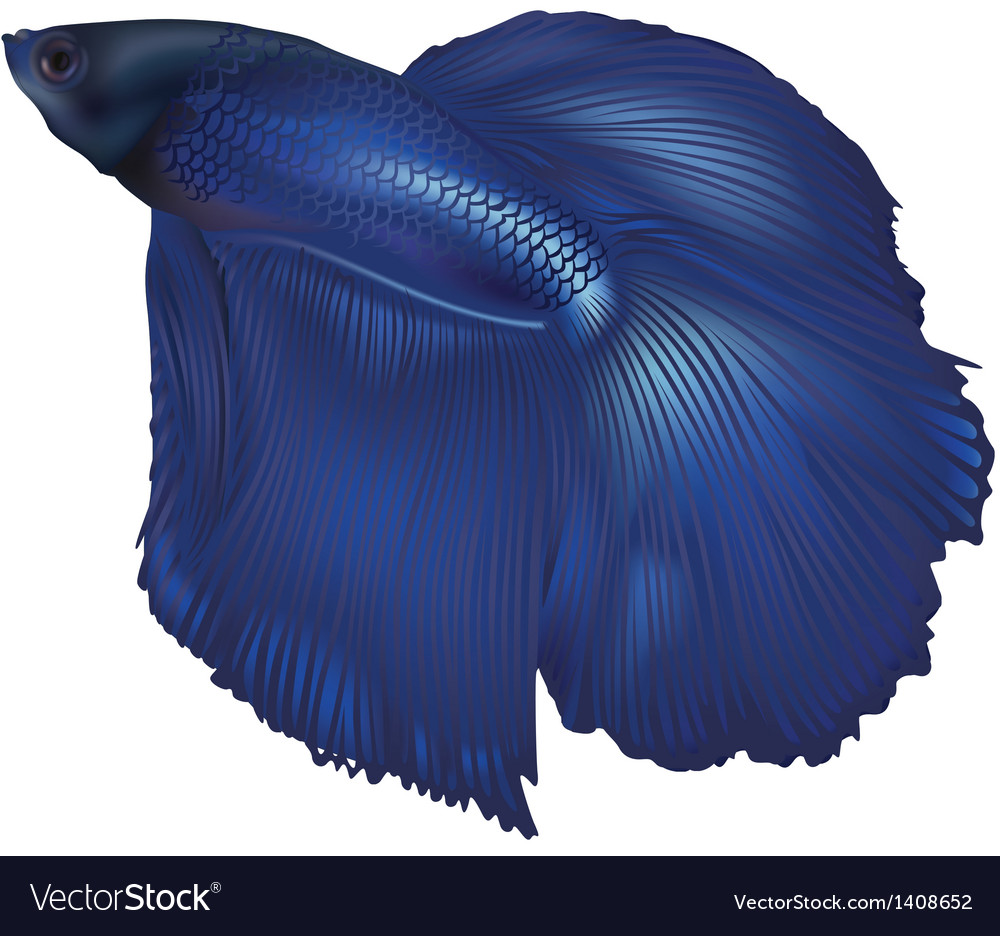 Fighting fish vector | Price: 1 Credit (USD $1)