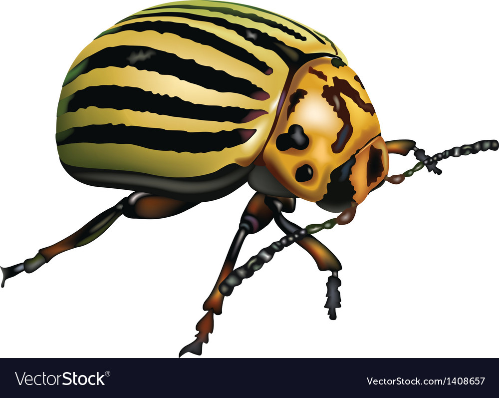 Colorado potato beetle vector | Price: 1 Credit (USD $1)