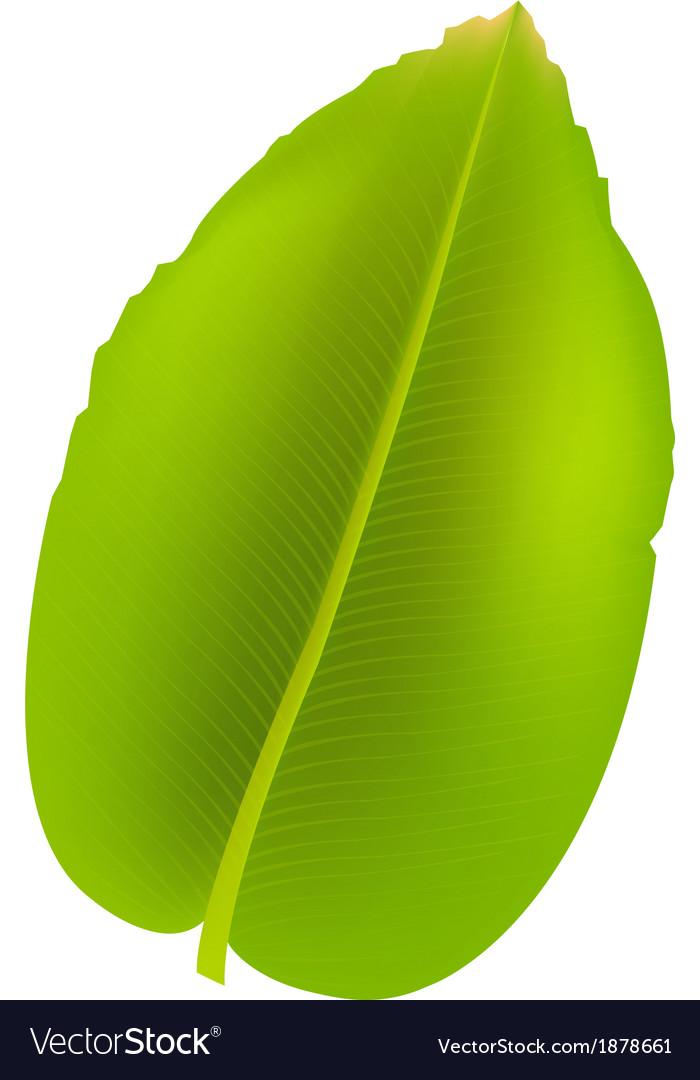 Banana leaf vector | Price: 1 Credit (USD $1)