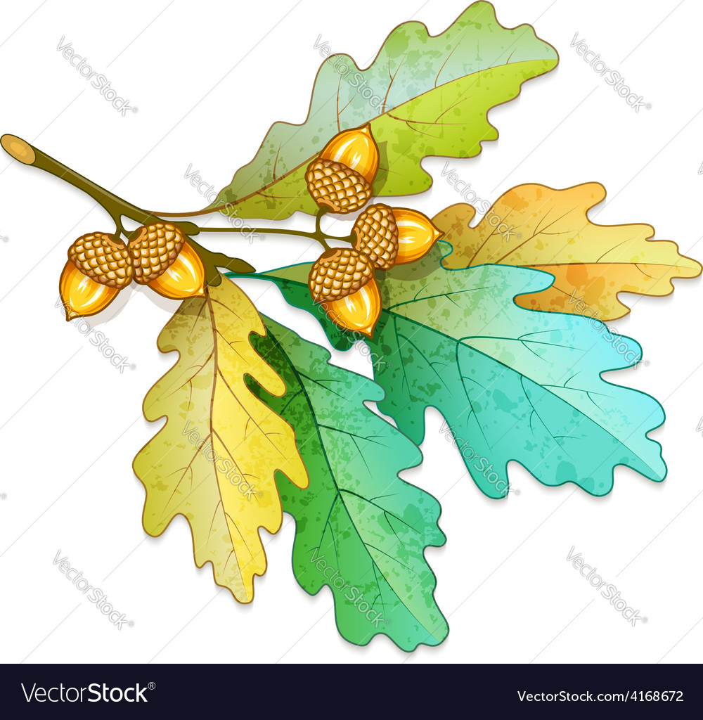 Oak tree branch with acorns vector