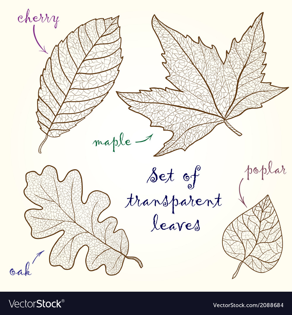 Collection of leaves cherry oak maple poplar vector | Price: 1 Credit (USD $1)