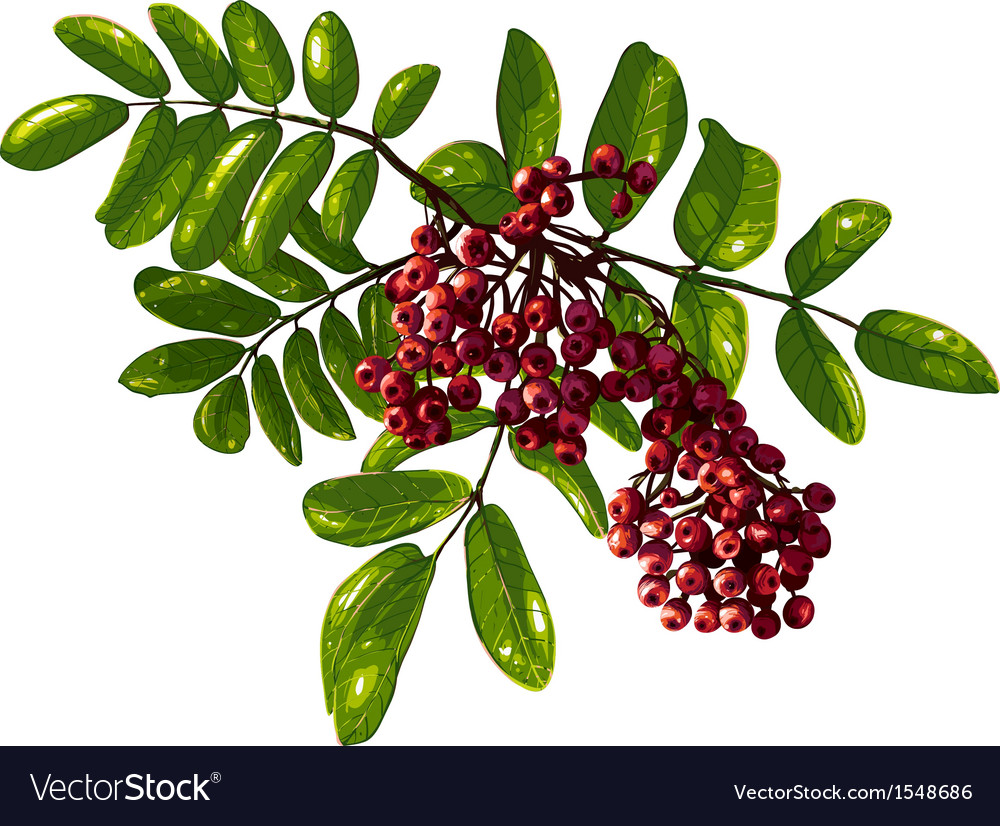 Ashberry branch composition with berries and vector | Price: 1 Credit (USD $1)