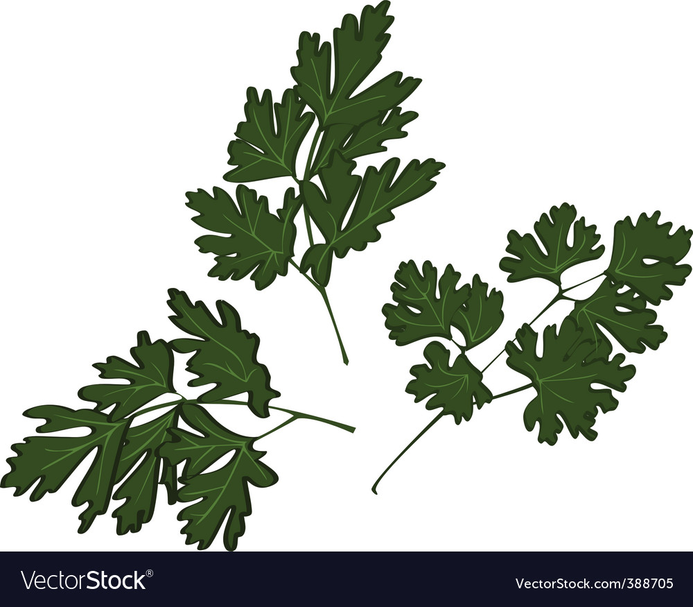 Parsley vector | Price: 1 Credit (USD $1)
