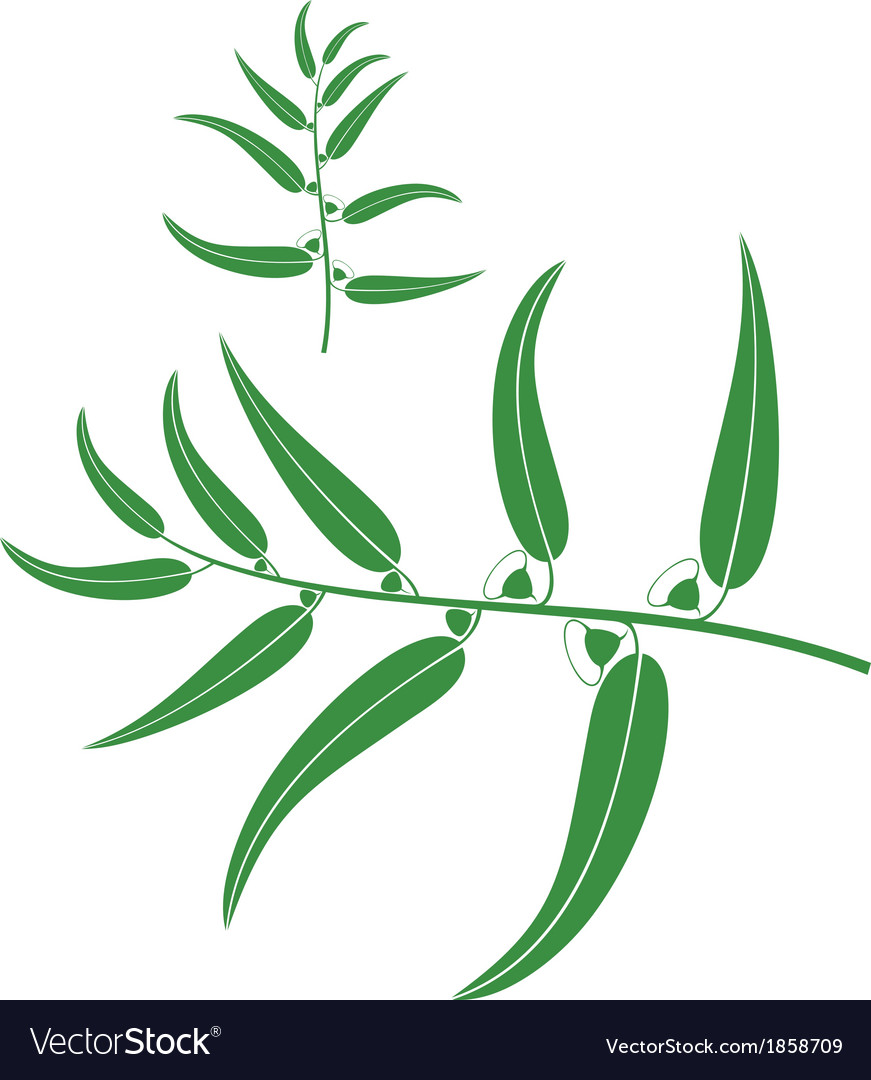 Eucalyptus vector | Price: 1 Credit (USD $1)