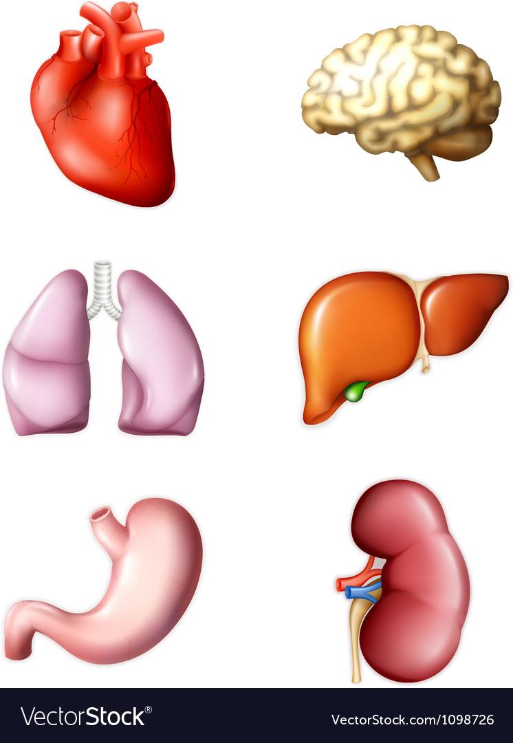 Internal human organs vector | Price: 1 Credit (USD $1)