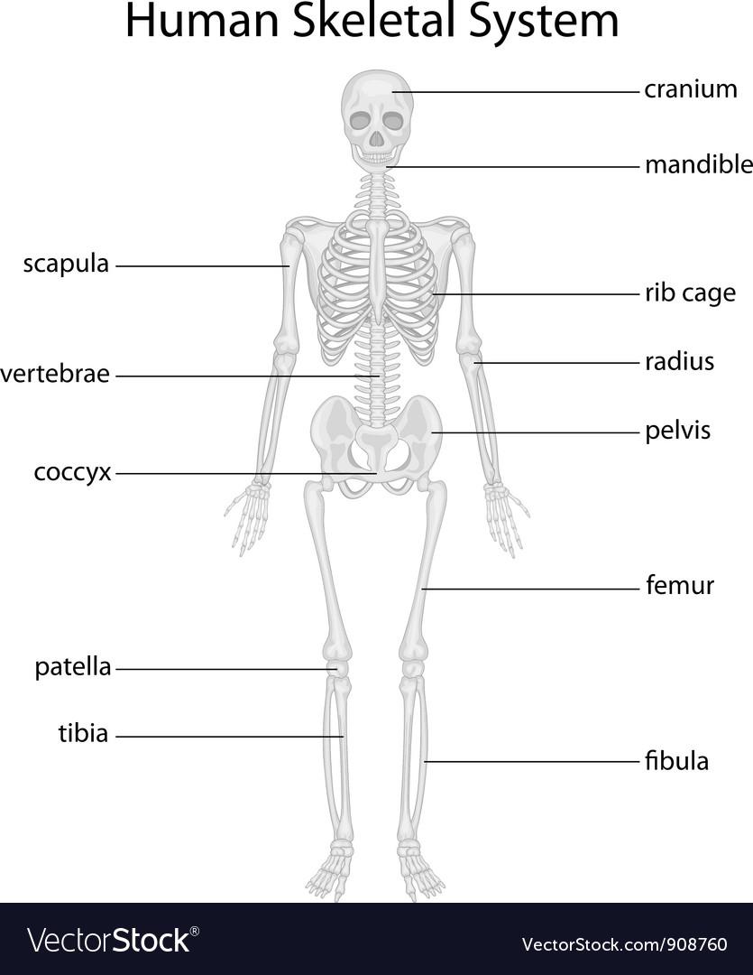 Skeletal system vector | Price: 3 Credit (USD $3)