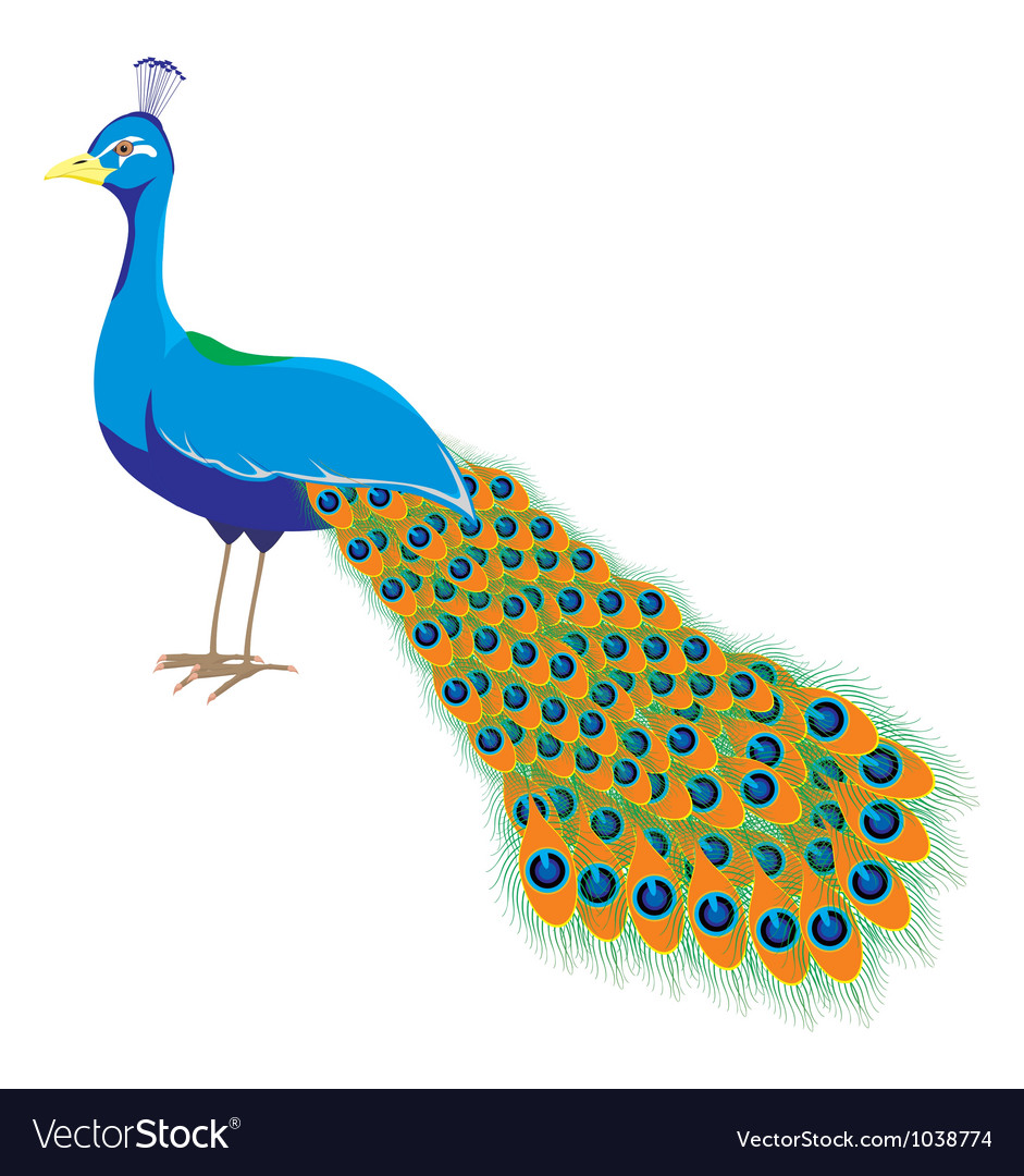 Peacock long tail vector | Price: 1 Credit (USD $1)
