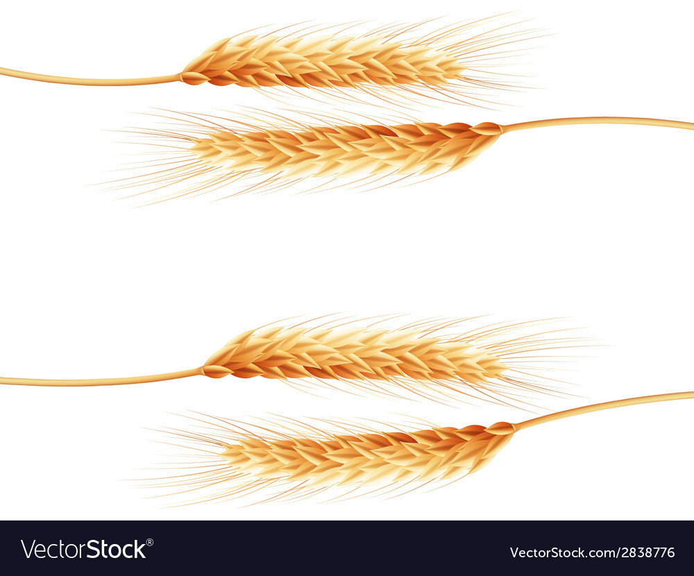 Wheat ears isolated on the white background vector
