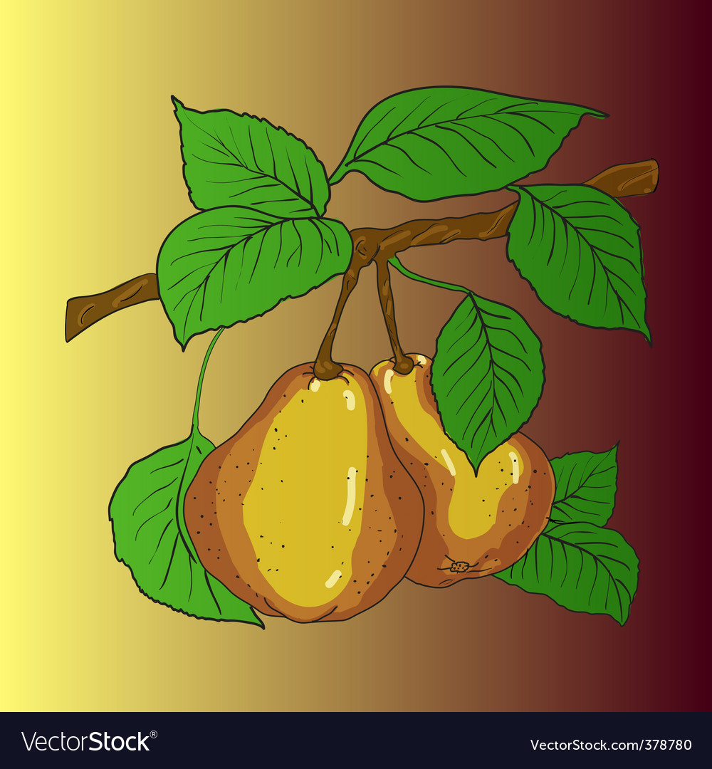 Two mature yellow pears vector | Price: 1 Credit (USD $1)