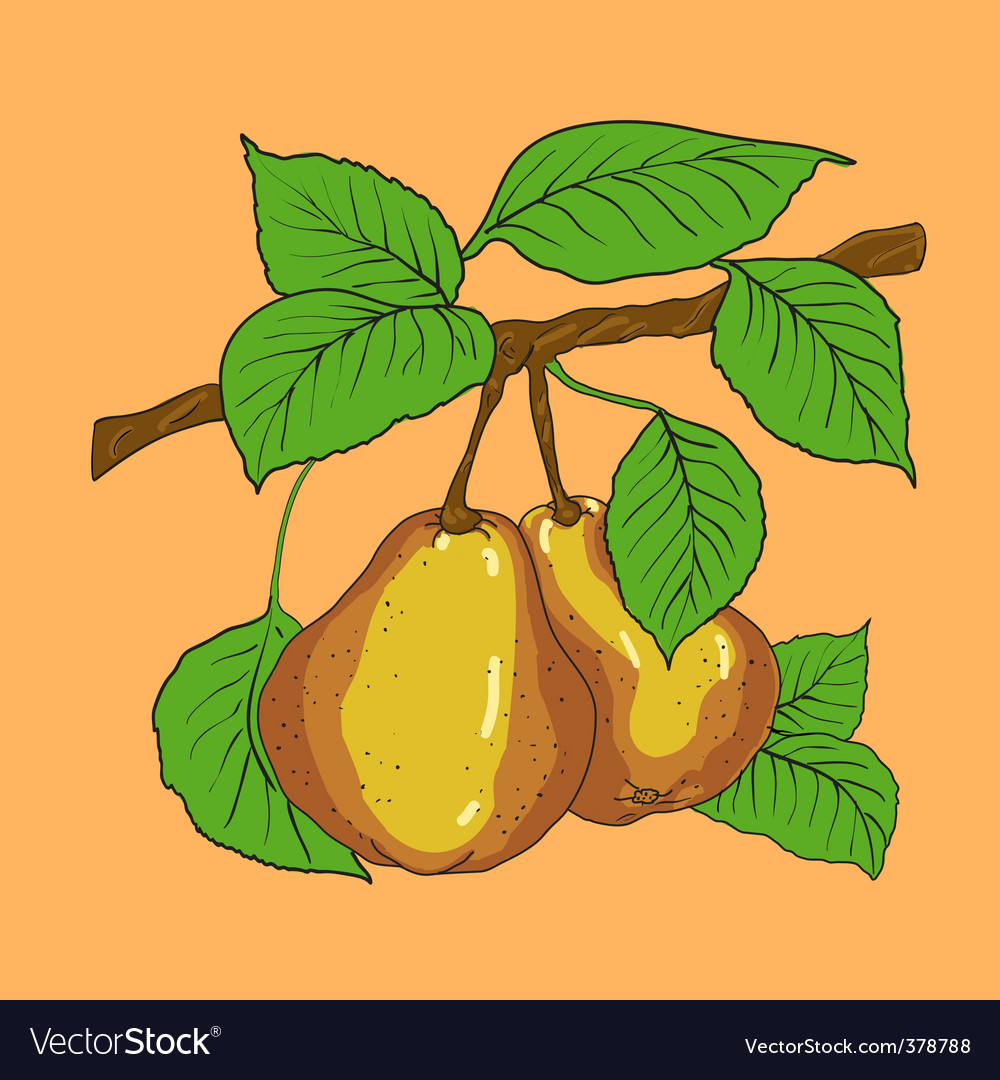 Two mature yellow pears vector   Price: 1 Credit (USD $1)