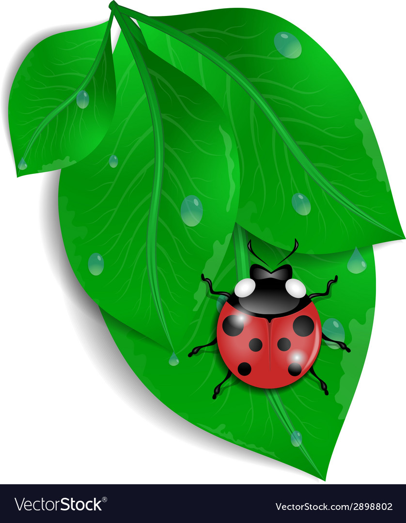 Green leaves with ladybird and water drops vector | Price: 1 Credit (USD $1)