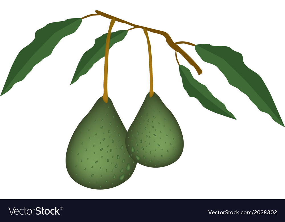 Two fresh green avocados on a branch vector | Price: 1 Credit (USD $1)