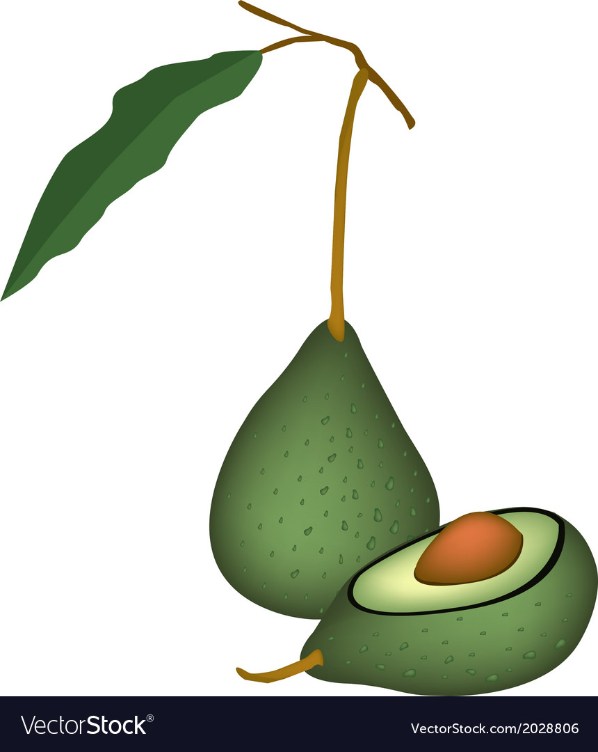 Two fresh green avocados on white background vector   Price: 1 Credit (USD $1)