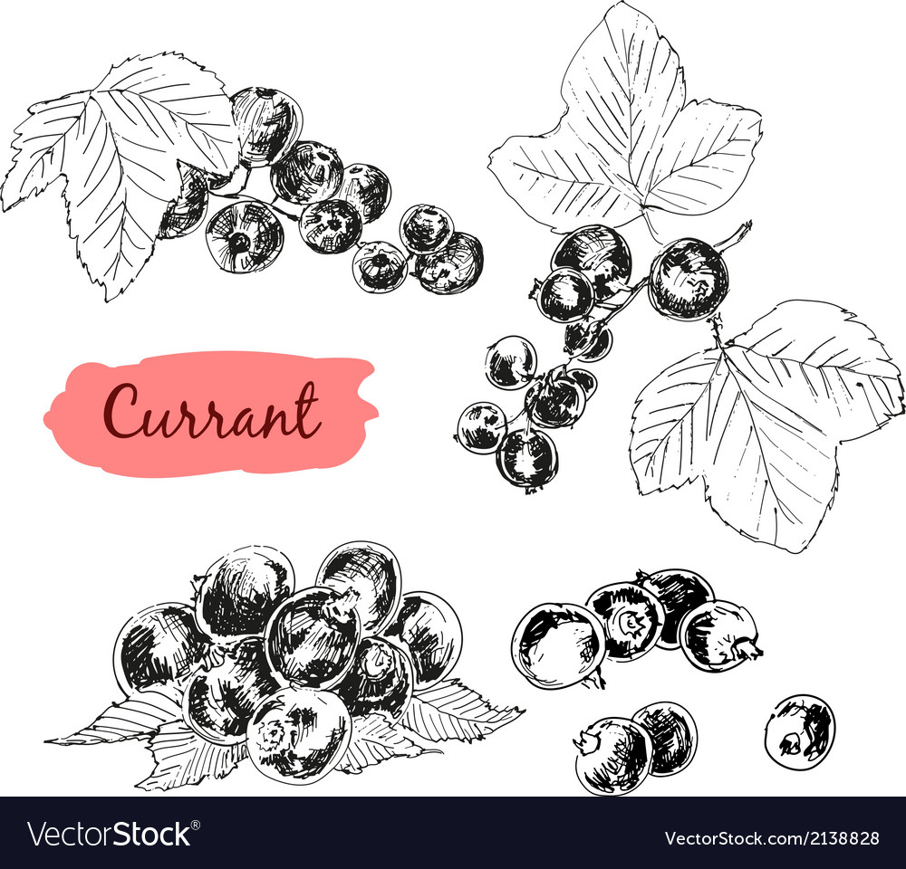 Currant vector   Price: 1 Credit (USD $1)