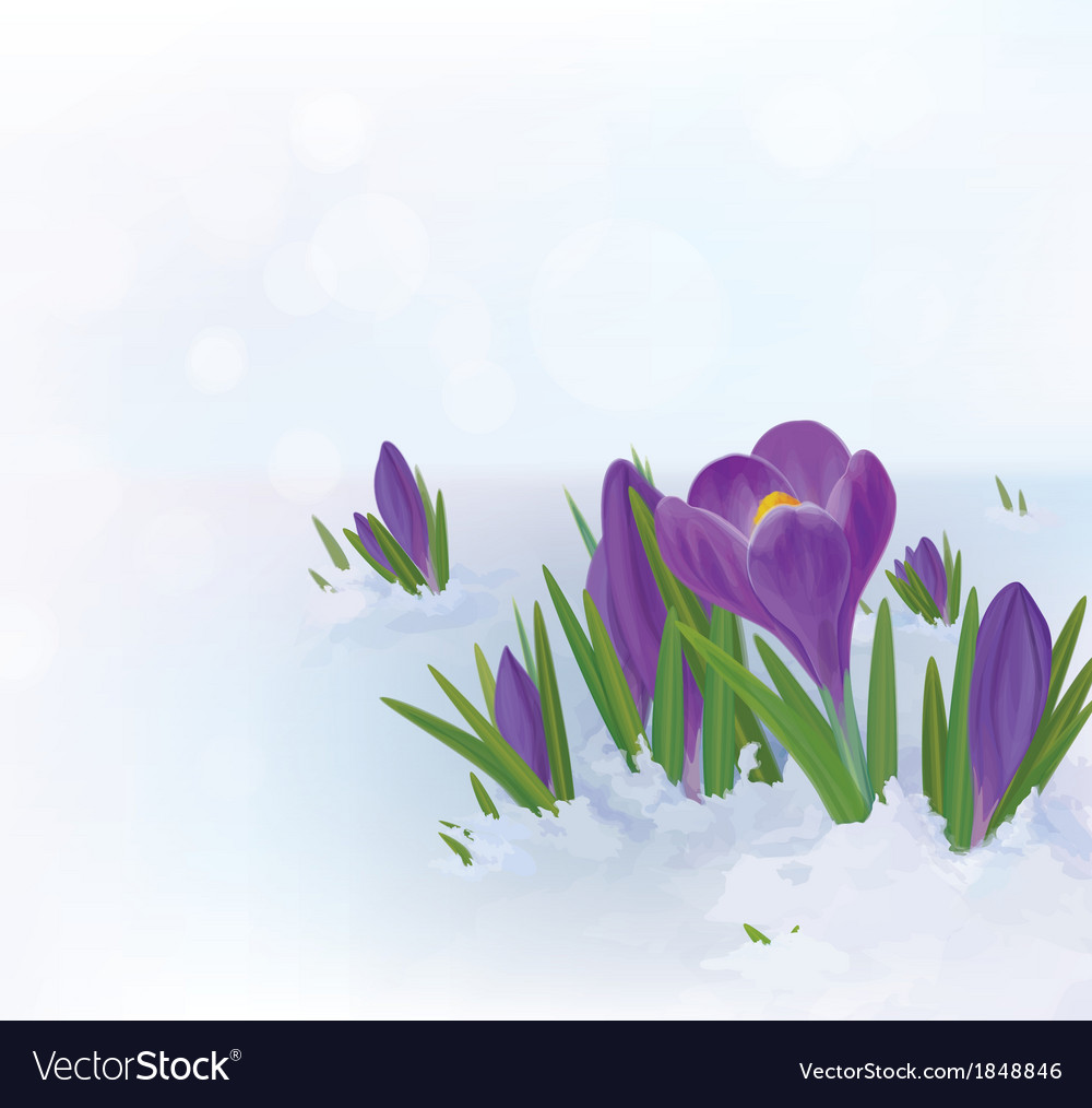 Crocuses snow vector | Price: 1 Credit (USD $1)