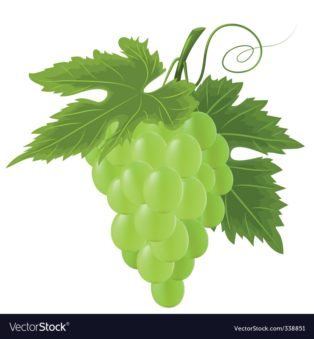 green grape vector | Price: 1 Credit (USD $1)