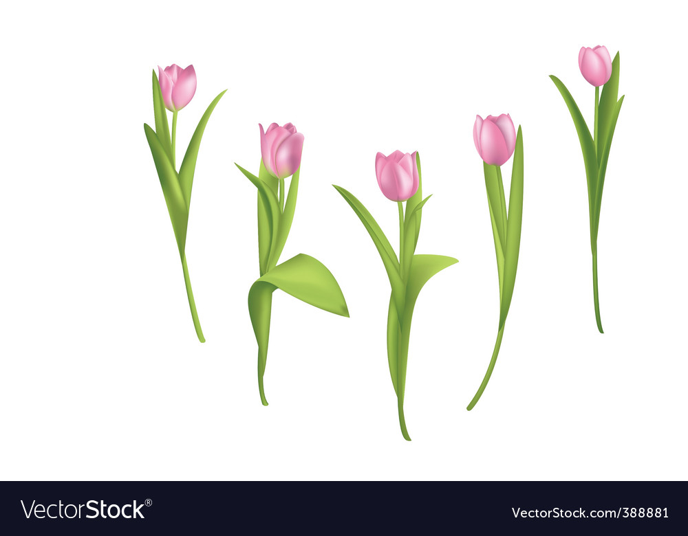 Pink tulips vector | Price: 1 Credit (USD $1)