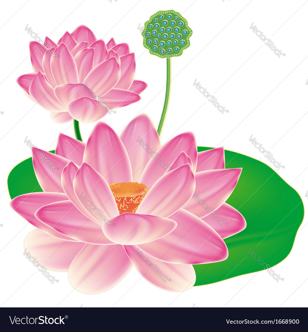 Realistic oriental lotus - a flower isolated with vector | Price: 1 Credit (USD $1)