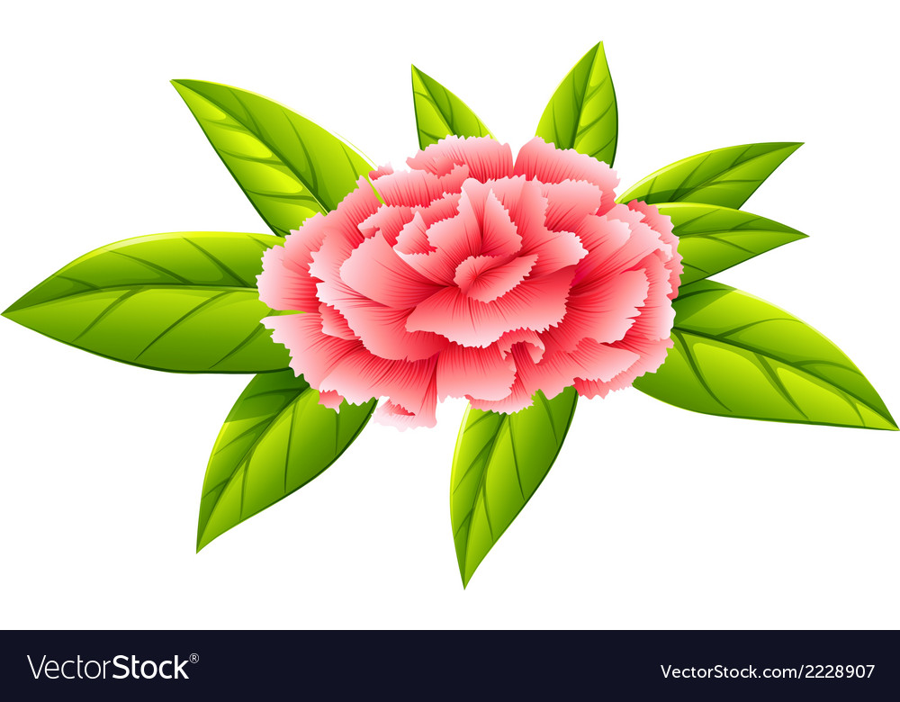 A carnation pink flower vector | Price: 1 Credit (USD $1)