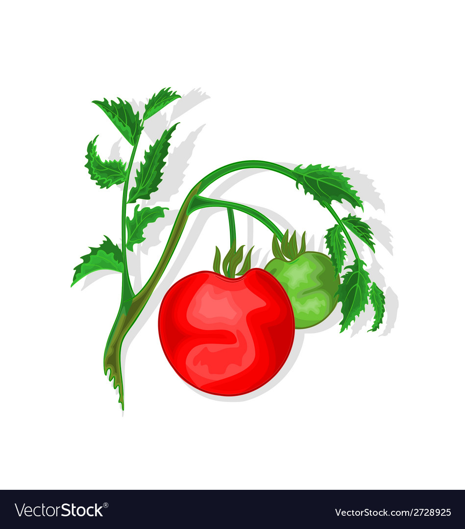 Tomatoes with leaf vector | Price: 1 Credit (USD $1)