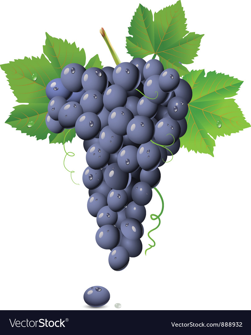 Vineyard grapes vector | Price: 1 Credit (USD $1)