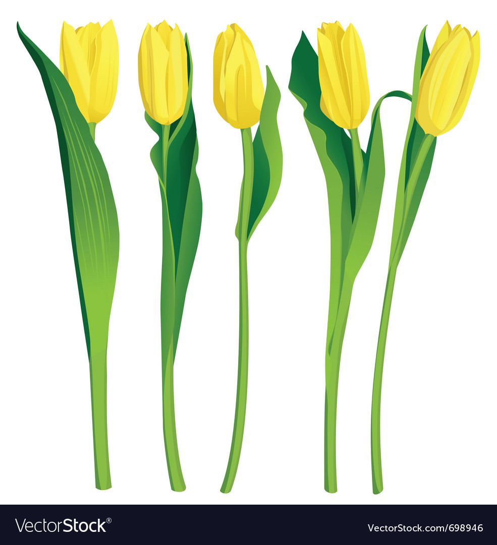 5 yellow tulips over white background vector | Price: 1 Credit (USD $1)
