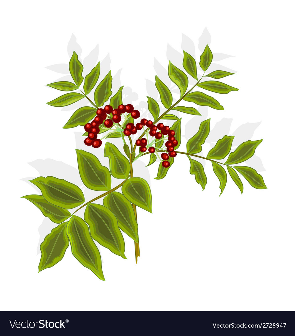 Twig rowan berry with leaves and berries vector | Price: 1 Credit (USD $1)