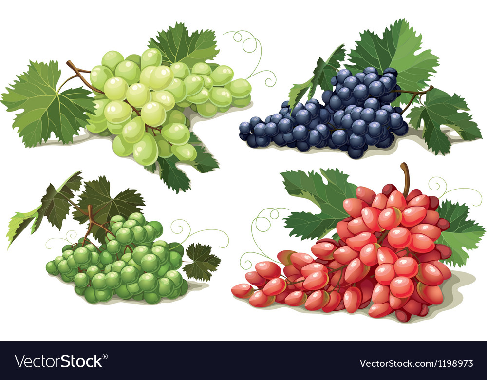 Set of ripe grapes vector | Price: 1 Credit (USD $1)