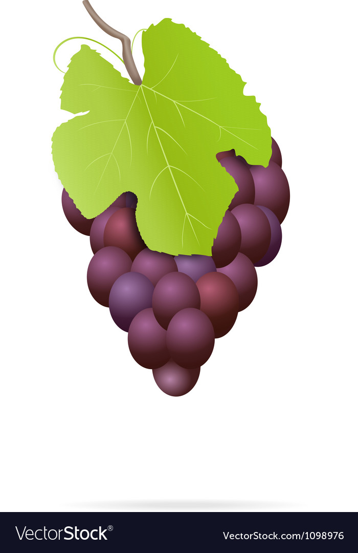 Bunch of grapes vector   Price: 1 Credit (USD $1)