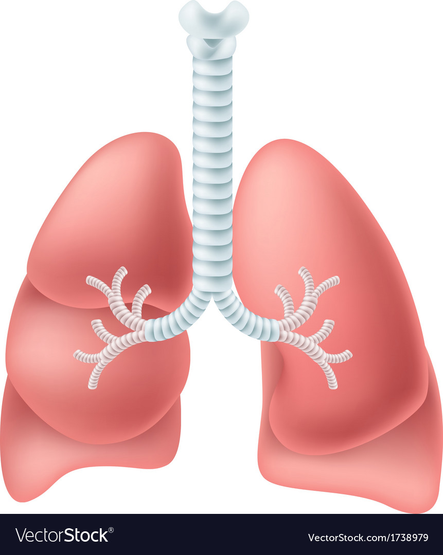 Human lung vector | Price: 1 Credit (USD $1)