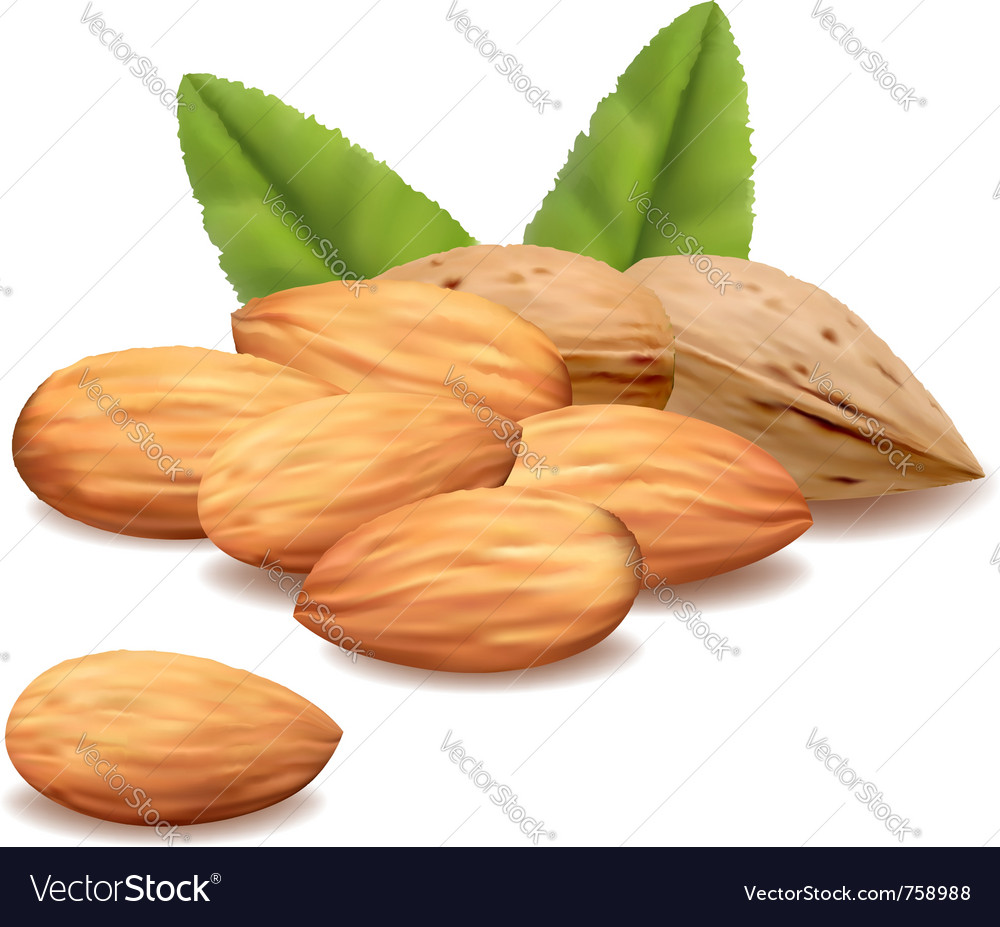 Almonds vector | Price: 3 Credit (USD $3)