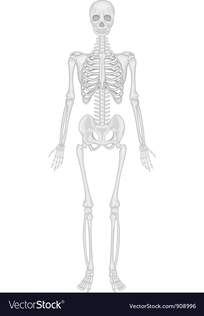 Skeletal system vector   Price: 3 Credit (USD $3)