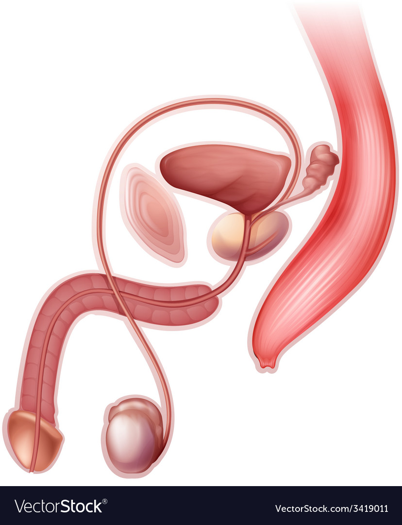 Male reproductive organ vector | Price: 1 Credit (USD $1)