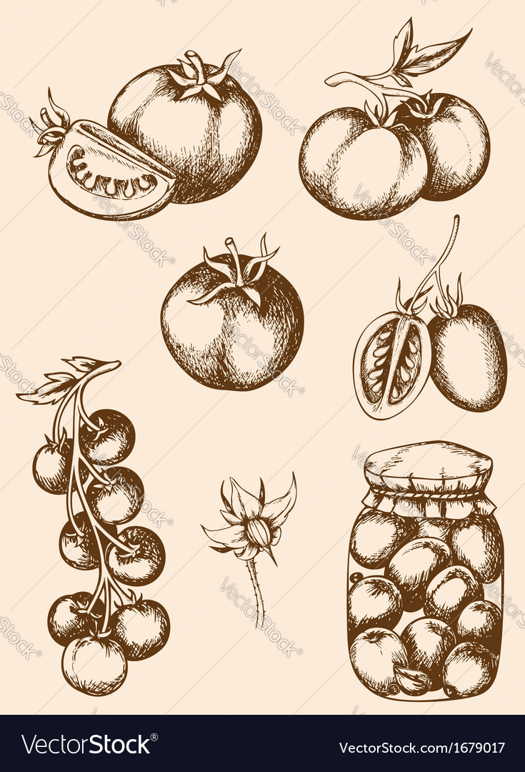 Vintage hand drawn tomatoes vector | Price: 1 Credit (USD $1)