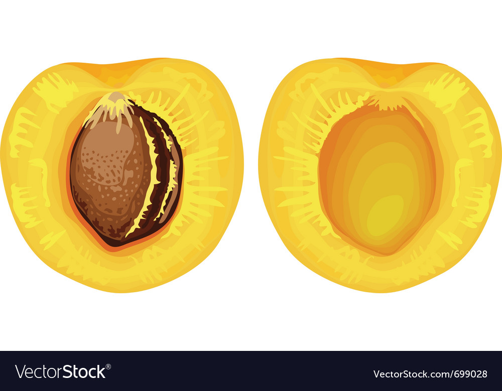 Two halves of apricot with seed vector | Price: 1 Credit (USD $1)