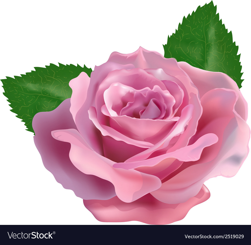 Realistic rose on a white background vector | Price: 1 Credit (USD $1)