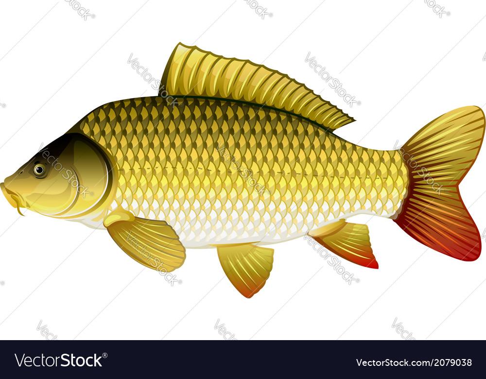 Common carp vector | Price: 1 Credit (USD $1)