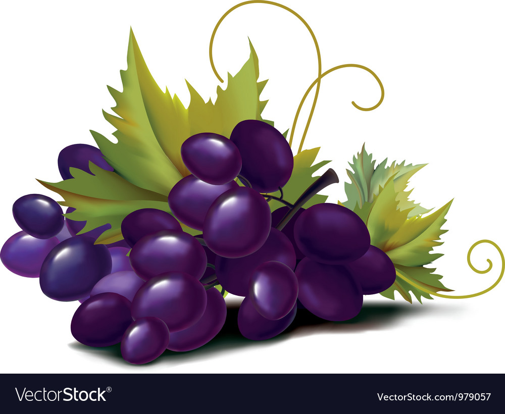 Grapes violet vector | Price: 3 Credit (USD $3)