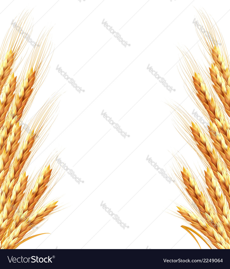 Ears of wheat background vector | Price: 1 Credit (USD $1)
