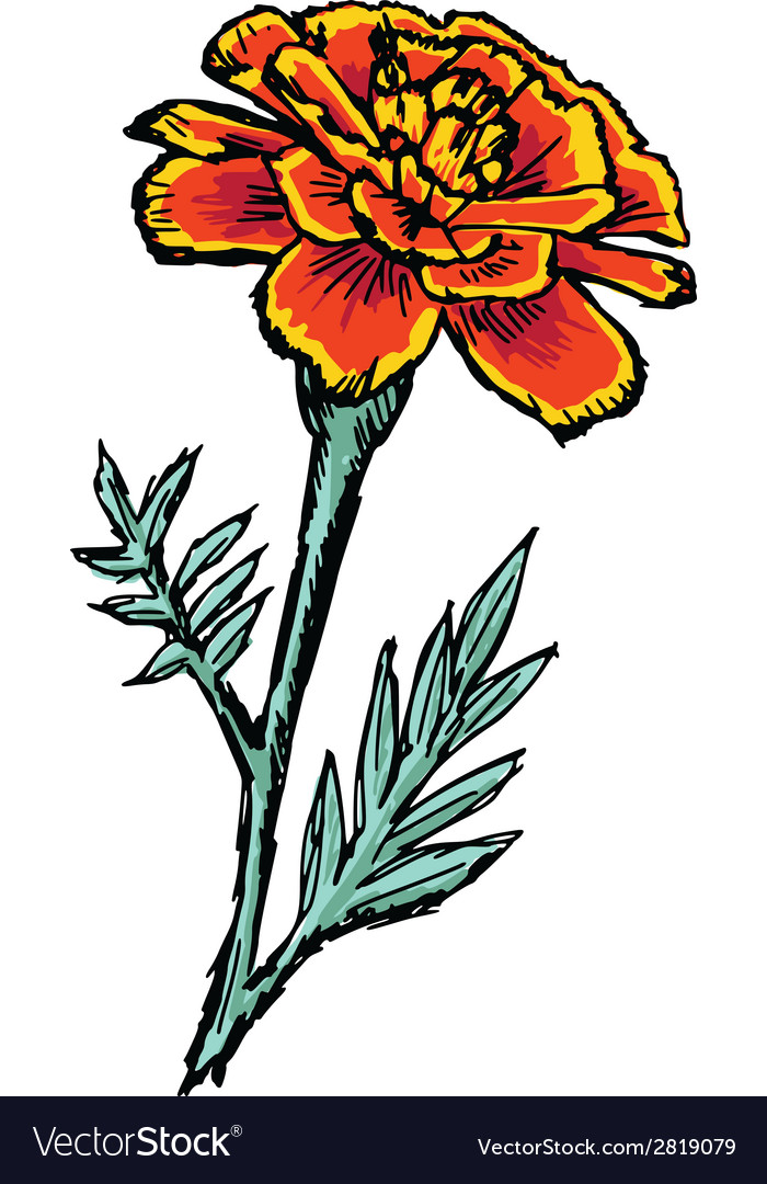 Marigold vector | Price: 1 Credit (USD $1)
