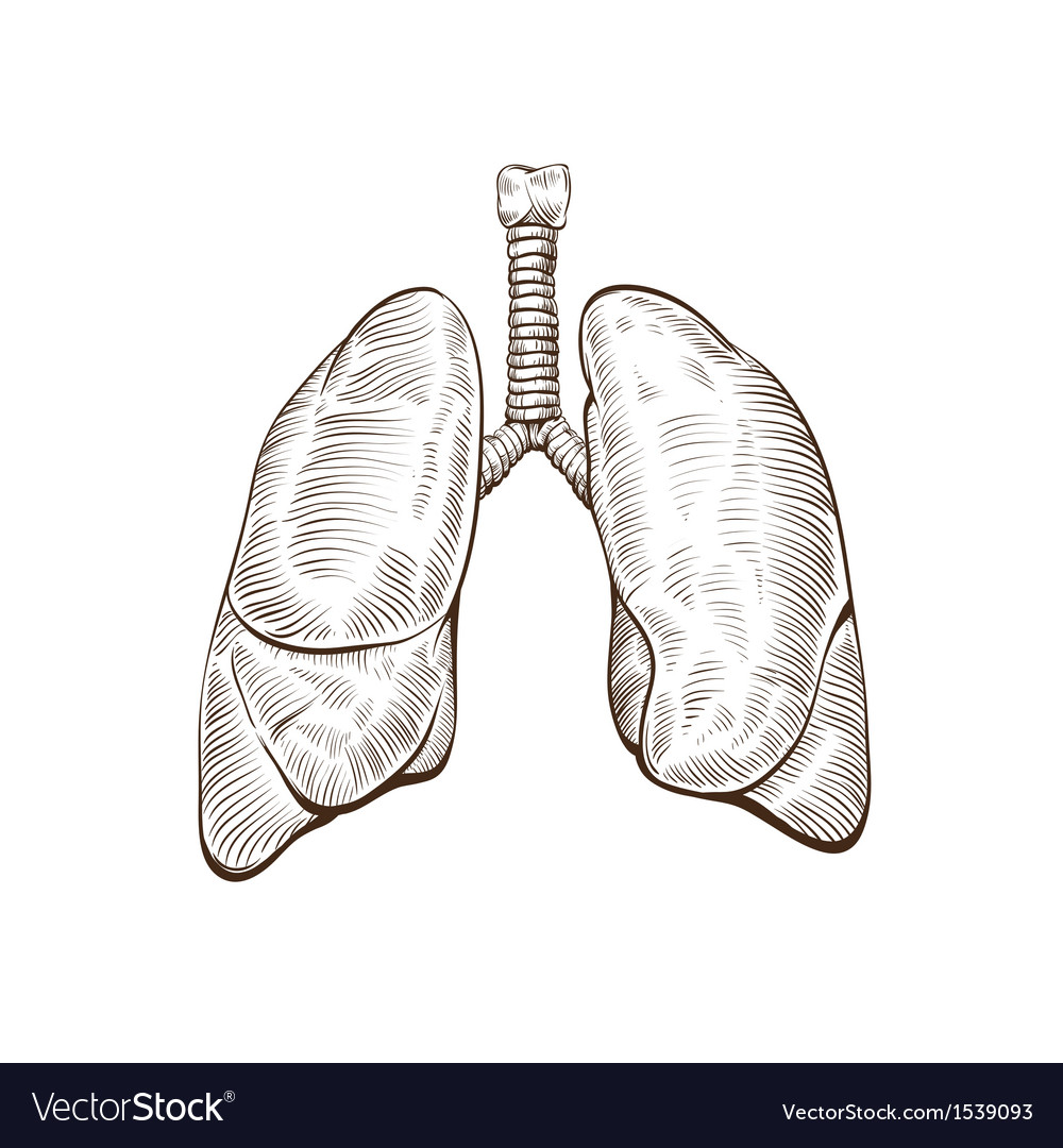 Hand drawn lungs isolated on a white backgrounds vector | Price: 1 Credit (USD $1)