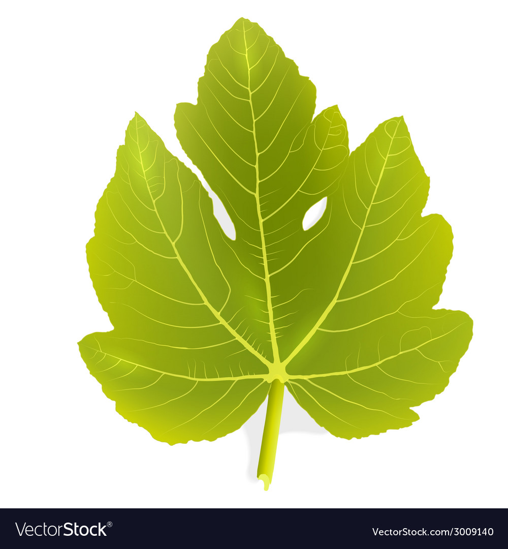 Fig leaf vector | Price: 1 Credit (USD $1)
