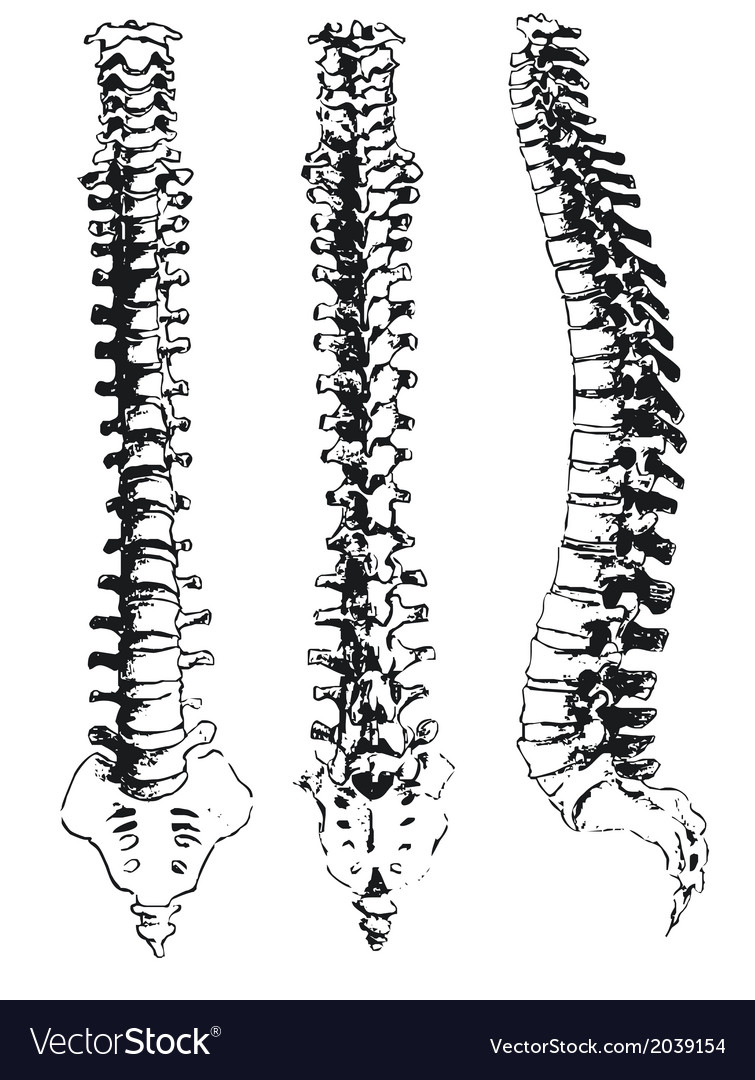 Spine vector | Price: 1 Credit (USD $1)