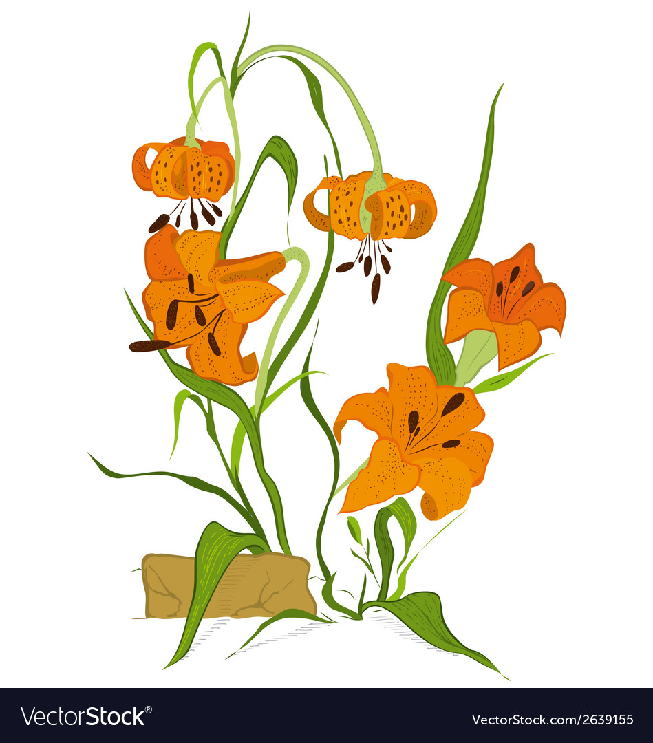 Tiger lily flower vector | Price: 1 Credit (USD $1)