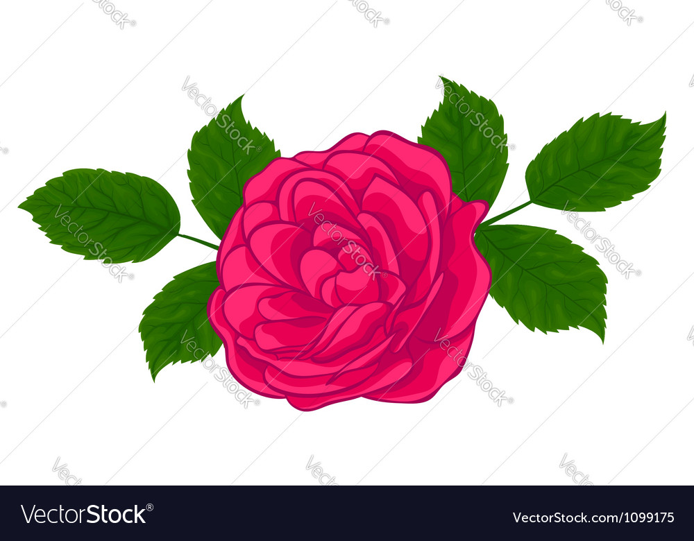 Stylish red rose isolated on white vector | Price: 1 Credit (USD $1)