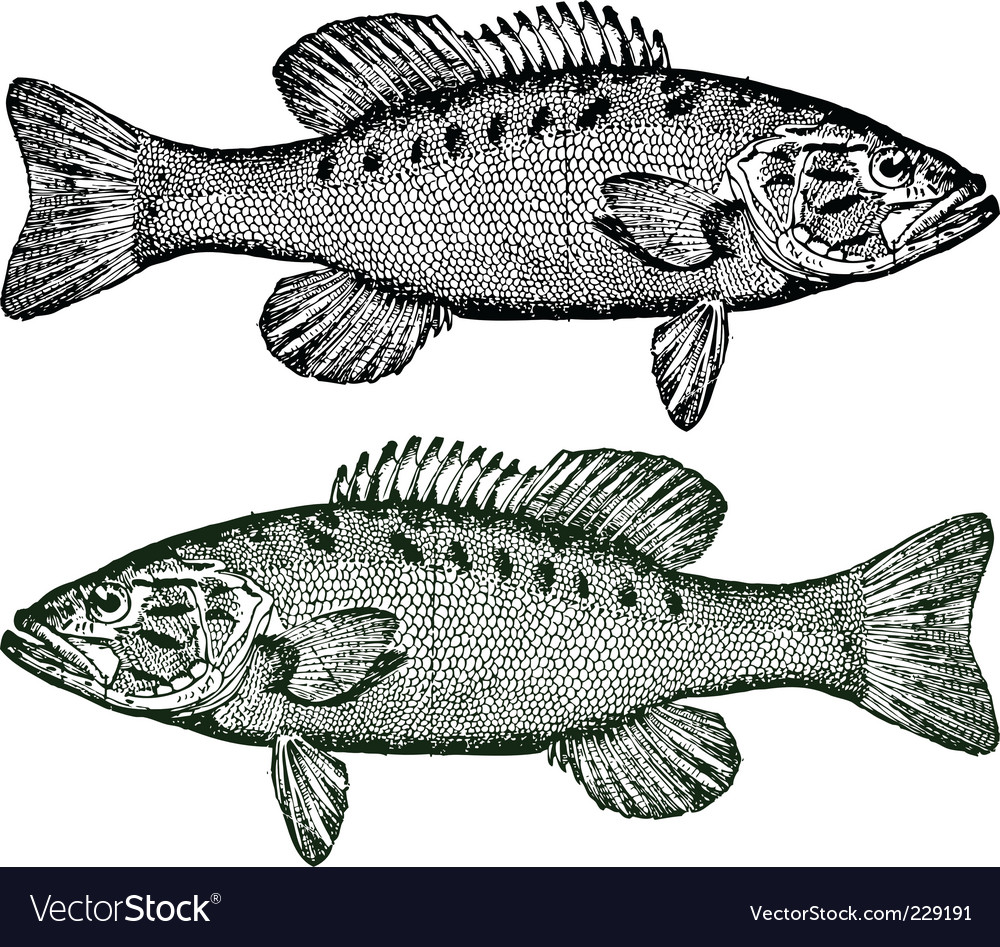 Smallmouth bass fish vector | Price: 1 Credit (USD $1)