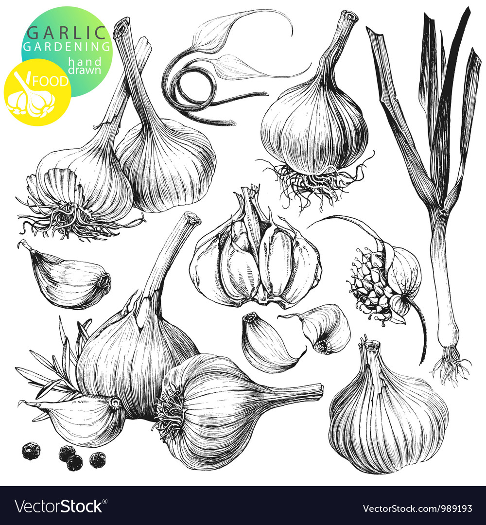 Garlic vector | Price: 1 Credit (USD $1)