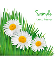Daisy flowers in green grass vector