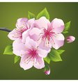 Blossoming branch of japanese tree sakura vector